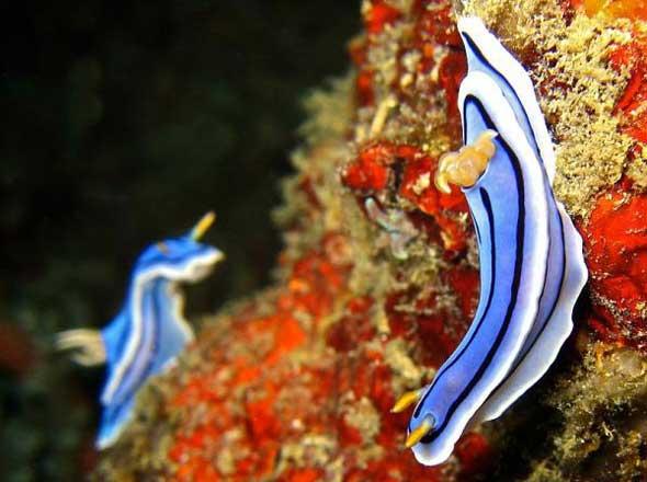 25 lesmas do mar com cores incríveis