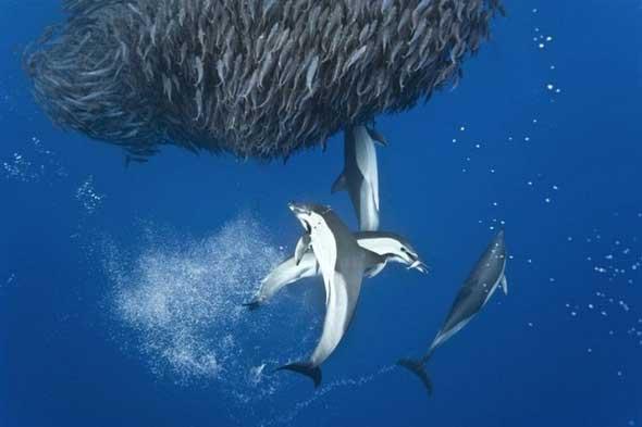 Fotos incríveis tubarões e golfinhos caçando cardumes de cavala